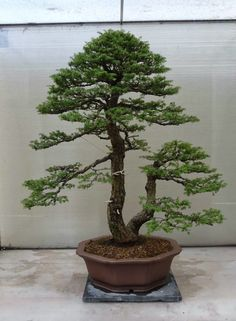 Jade Bonsai, Succulent Bonsai, Bonsai Garden, Japanese Garden Design, Japanese Art, Prunus Mume, Plantas Bonsai, Asian Garden, Miniature Trees
