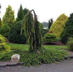 evergreen gardens conifers