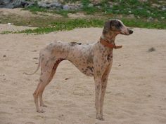 Breed of royalty in India Unique Dog Breeds, Rare Dog Breeds, Hound Breeds, Popular Dog Breeds, Pet Breeds, Hound Dog, Really Big Dogs, Hounds Of Love, Every Dog Breed