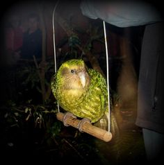 Sirocco, the ambassodar for his kind, the Kakapo. Only 156 in the world as of 2017.