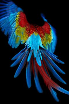 Macaw in Flight ~ A stunning example of the primary colors in nature.