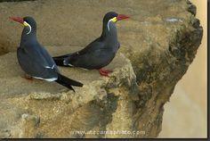 Beautiful Inca Terns (Larosterna inca) on a cliff near Antofagasta