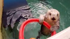 PORTLAND - On advice of a veterinarian, animal trainers at the Oregon zoo resorted to teaching their aging sea otter 'Eddie' how to shoot hoops to improve the flexibility of his joints.            Eddie was rescued off the California coast because he wouldn't ...