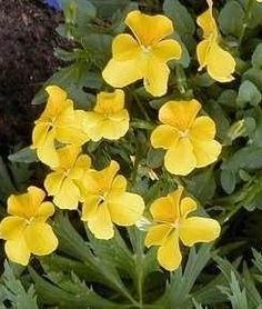 Pase Seeds - Viola Cornuta Lutea Splendens Perennial Seeds, $3.29 (http://www.paseseeds.com/viola-cornuta-lutea-splendens-perennial-seeds/)