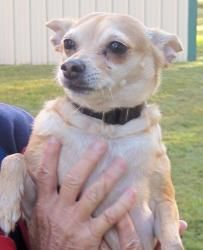 Liza is an adoptable Chihuahua Dog in Georgetown, TX. 3 year old Liza is calm and happy walking or laying in a lap. She gets along with other dogs and children as long as they are respectful. She wa...