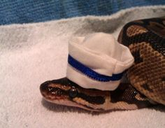 snake crown zeus Ball python python i cant believe he let me do this snakes in hats tiny king royal python i cant believe i didnt think of that pun thanks guy that thought of that pun Python Royal, Snakes With Hats, Animals And Pets, Cute Animals, Snake Party, Cute Reptiles, Cute Snake, Dog Furniture, Ball Python