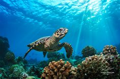 """Maldivian Life - <a href=""""http://www.shutterstock.com/pic-341379554/stock-photo-beautiful-underwater-postcard-maldivian-sea-turtle-floating-up-and-over-coral-reef-loggerhead-in.html"""">Beautiful Underwater Postcard. Maldivian Sea Turtle Floating Up And Over Coral reef. Loggerhead in wild nature habitat </a>"""