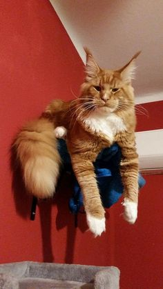 Want to know if Maine Coon Kittens are playful (They are very playful) and what traits they have before you adopt then look no further. Chat Maine Coon, Maine Coon Kittens, Cats And Kittens, Ragdoll Cats, Beautiful Kittens, Norwegian Forest Cat, Cat Aesthetic, Orange Cats, Cat Facts