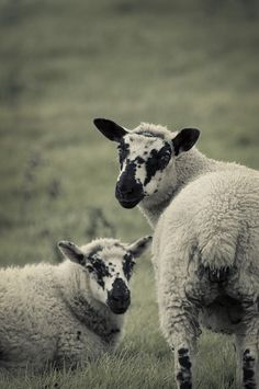pair of sheep by malc_smith, via Flickr #WOWparksandzoos