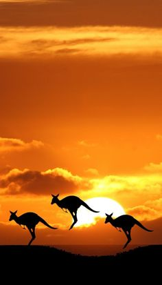 Kangaroo against the sunset wonderful combination of landscape and animal photography. Beautiful Sunset, Beautiful World, Beautiful Things, Beautiful Creatures, Animals Beautiful, Pretty Animals, Animal Photography, Nature Photography, Photography Lighting