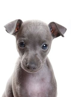 small greyhound dogs - Google Search
