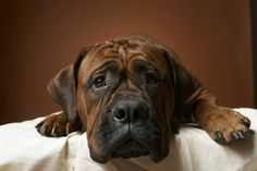 14 'Bully' Dog Breeds You Should Know.everyone that is bully breed negative should read this and educate themselves before they pass judgement! Shepherd Mix Puppies, Dog Crying, Bully Dog, Bully Breed, A Course In Miracles, Homemade Dog, Dog Care, I Love Dogs, Brindle Boxer