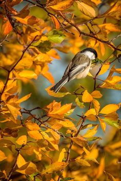 chickadee amongst the fall foliage - Ana Rosa