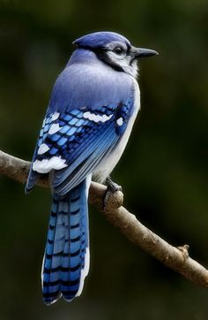 Blue jay with a blue suit. Pretty Birds, Beautiful Birds, Animals Beautiful, Exotic Birds, Colorful Birds, Nature Animals, Animals And Pets, Blue Jay Bird, Kinds Of Birds