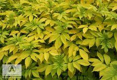 Sambucus nigra 'Aurea' - Bez czarny 'Aurea'