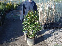 Camellia Japonica William Bartlett