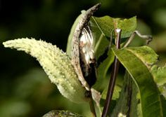 Milkweed Plants - Facts About a Host Plant for Monarch Butterflies (Cynthia: Note issues about containing it within a space and poisonous leaves)