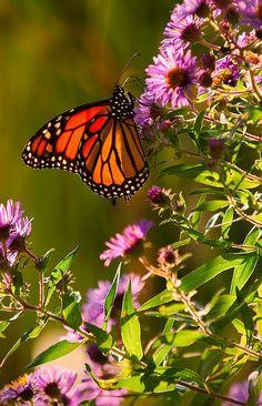 Monarch Butterfly #typeIA #Alabama