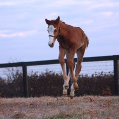 "From FB: ""This cutie of a colt was the first to join the Siena Farm family in 2015! He's by To Honor and Serve and is the first foal for Queenofperfection, from the family of champion Speightstown."""