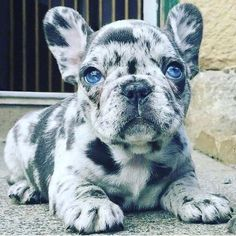 The major breeds of bulldogs are English bulldog, American bulldog, and French bulldog. The bulldog has a broad shoulder which matches with the head. Cute Baby Dogs, Super Cute Puppies, Baby Animals Super Cute, Cute Little Puppies, Cute Dogs And Puppies, Cute Little Animals, Cute Funny Animals, Doggies, Baby Pugs