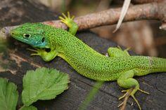 Lézard vert (mâle) 03 by Elsa66, via Flickr