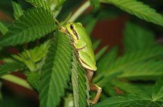 Frog on marijuana plant