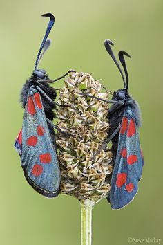 The Six-spot Burnet (Zygaena filipendulae) is a day-flying moth which is common throughout Europe.