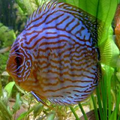 Tropic blue aquarium fish Vietnam
