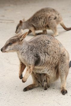 ˚Rock Wallabies - Magnetic Island, Australia Nature Animals, Baby Animals, Cute Animals, Animal Babies, Brisbane To Cairns, Duck Billed Platypus, Society Islands, Bird People, Australia Animals