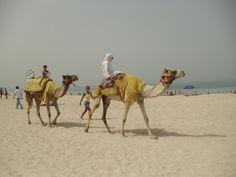 Camellos en la playa... Marina Dubai.