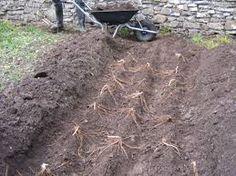 Image from https://morningtonhouse.files.wordpress.com/2012/04/asparagus-planting-003.jpg.