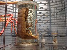 Reuzen Pissebed A Giant  Isopod  Museum Naturalis Leiden