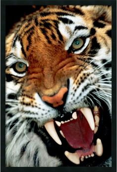 "0-028776>37x25"" Bengal Tiger Close-Up Framed Art Gel Coated"
