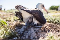 World's Oldest Wild Bird Hatches Tiny Fluffy Surprise  For the love of animals. Pass it on.