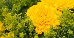 KW 37 langstielig: SUN BEAMER | 7 Edelchrysanthemen und 5 Solidago für Ihre Bodenvase | BLOOMY DAYS