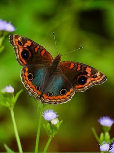 **Brazilian Owl Butterfly (Caligo Brasiliensis)