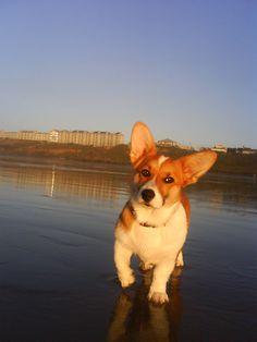 This is what I wanna do when I get a corgi. Bring him to the beach! :D
