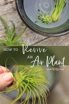 Indoor Gardening How to Revive a Sick Air Plant - Garden Therapy - To revive a sick air plant that has been a tad neglected, shipped from far, far away, or looks a little brown,learn how to perk it back up! Terrariums, Air Plant Terrarium, Plant Pots, Air Plants Care, Plant Care, Air Plant Display, Plant Decor, Cactus, Flower Pot Design