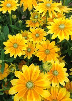 Rudbeckia 'Prairie Sun' - Rudbeckia - Flowers