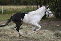 Splash White Gotland Pony - stallion Guldhagens Frej (Bloka Joker - Pros Timera - Raider)