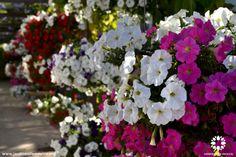 Hermosas petunias que engalan las oficinas de Jardines de México  Morelos, México. #paisajismo #landscaping  #Turismo #Tourism #Naturaleza #Nature #JardinesDeMéxico.  http://jardinesdemexico.org