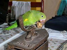 Limão Bravo - Diversão Garantida: Natureza Divina!! Conquiste-a sem gaiolas! Parrot, Bird, Videos, Bird Boxes, Nature, Parrot Bird, Birds, Video Clip, Parrots