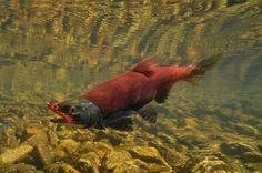 Sockeye Salmon hooked
