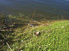 Wild baby alligator at Black Hammock Airboat Rides Orlando!