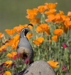 Male California quail perched on a rock amid California poppies.
