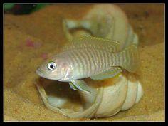 "neolamprologus multifasciatus, AKA multie-  ~1.5"" shell dwelling cichlid from tanganyika."