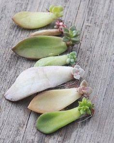 #sedum seedlings