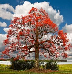 I have this fascination with trees and this is GORGEOUS! Brachychiton acerifolius-Illawarra Flame Tree