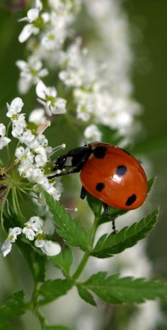 ladybug on white flower