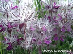 Stachys lavandulifolia, loves dry conditions, hardy to zone 5